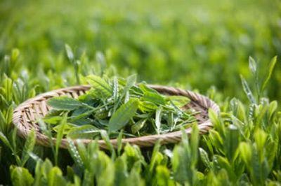 Le Thé vert c'est bon pour la santé