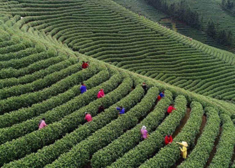 L'histoire du thé blanc d'Anji en Chine
